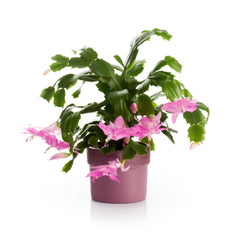 Christmas Cactus Bloom.Tips For Growing Christmas Cactus And Getting Them To Bloom