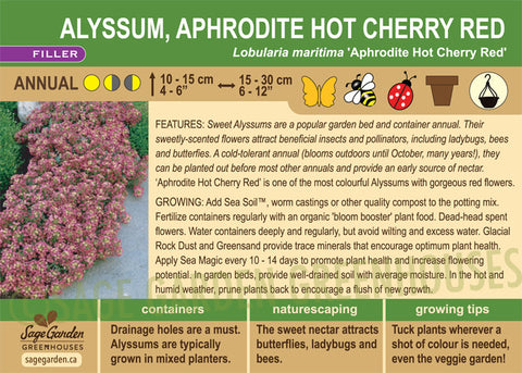 Alyssum, Aphrodite hot Cherry Red (Live Plant)