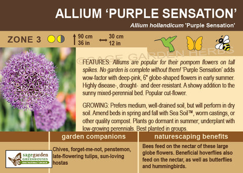 Allium, Purple Sensation (Live Plant)