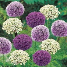 Bulbs - Allium 'Goliath Mix' OG