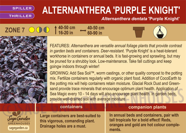 Alternanthera 'Purple Knight' (Live Plant)