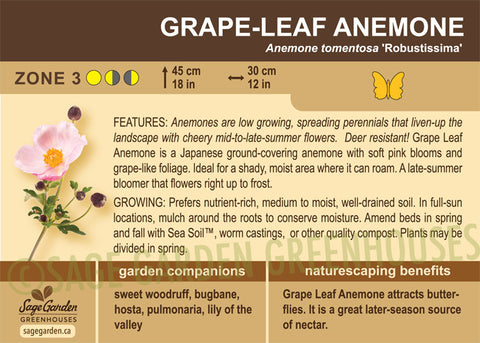 Anemone, Grape-Leaf (Live Plant)