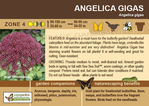 Angelica gigas (Live Plant)