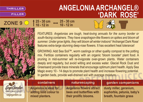 Angelonia Archangel 'Dark Rose' (Live Plant)