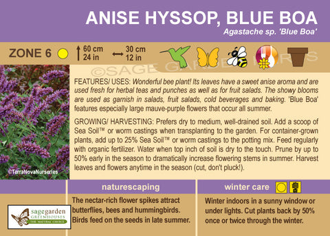 Anise Hyssop 'Blue Boa' (Live Plant)