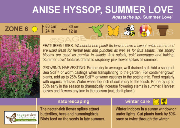 Anise Hyssop 'Summer Love' (Live Plant)