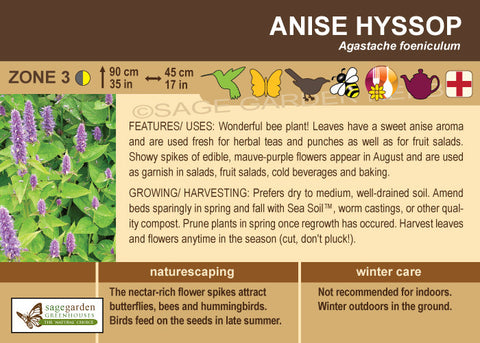 Anise Hyssop (Live Plant)