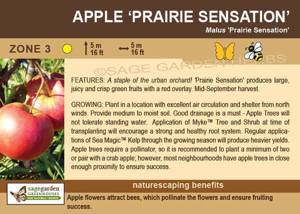Apple 'Prairie Sensation' (Live Plant)