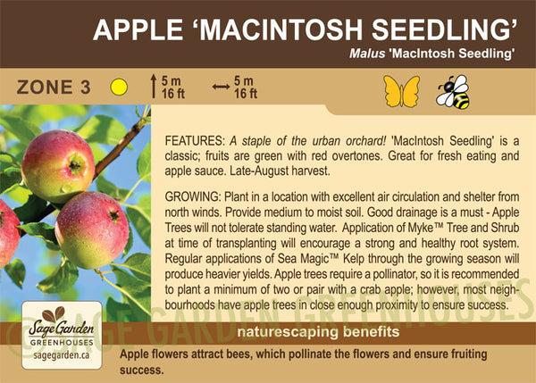Apple 'Macintosh Seedling' (Live Plant)