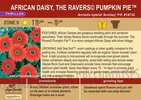 African Daisy, the Ravers© Pumpkin Pie™ (Live Plant)