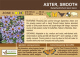 Smooth Aster (Live Plant)