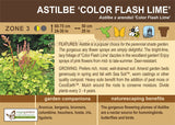 Astilbe 'Color Flash Lime' (Live Plant)