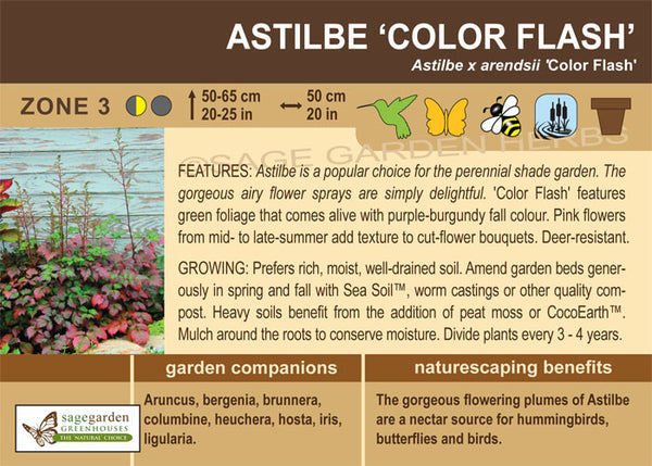 Astilbe 'Color Flash' (Live Plant)