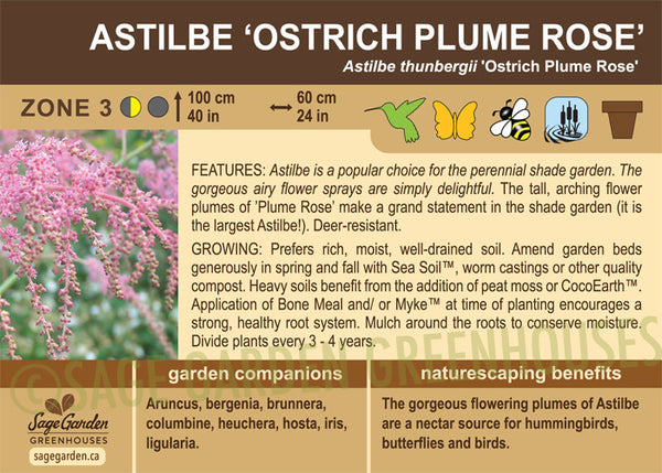 Astilbe 'Ostrich Plume Rose' (Live Plant)
