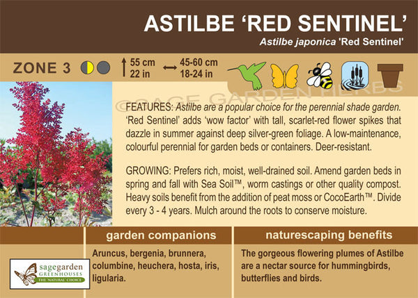 Astilbe 'Red Sentinel' (Live Plant)