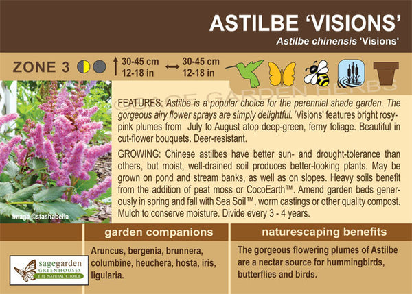 Astilbe 'Visions' (Live Plant)