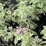 Australian Mint Bush, Variegated at Sage Garden