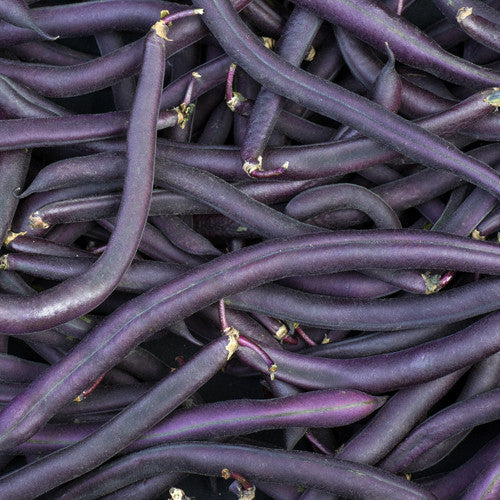 Organic Royal Burgundy Bush Bean