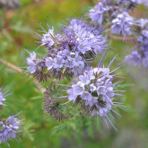 Seeds - Phacelia, Bee's Friend OG