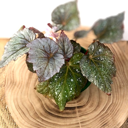 Rex Begonia Shadow King Cool White - Live Plant