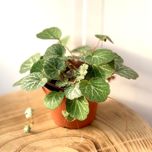 Strawberry Begonia - Live Plant