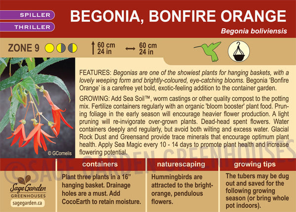 Begonia, Bonfire Orange (Live Plant)