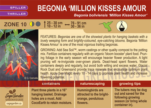 Begonia 'Million Kisses Amour' (Live Plant)