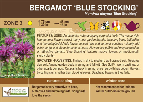 Bergamot 'Blue Stocking' (Live Plant)
