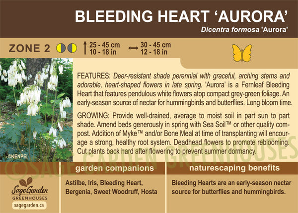 Bleeding Heart 'Aurora' (Live Plant)