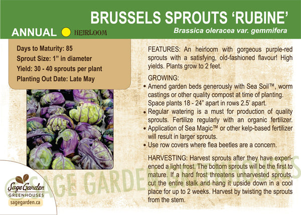 Brussels Sprouts 'Rubine' (Live Plant)