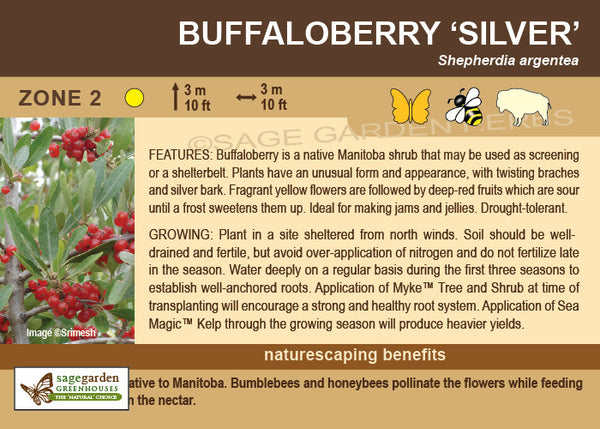 Buffaloberry 'Silver' (Live Plant)