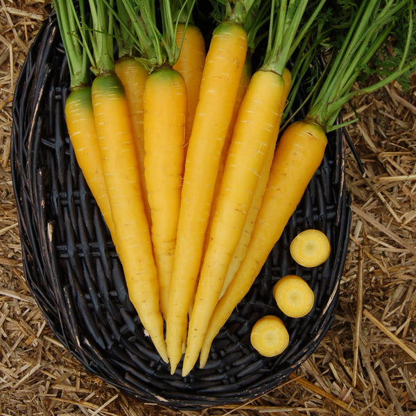 Organic Yellowstone Carrot