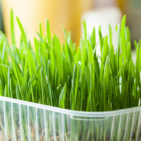Certified Organic Cat Grass