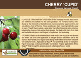 Cherry 'Cupid' (Live Plant)