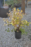Cherry 'Nanking Pink Candles' (Live Plant) - Sale