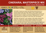 Cineraria, Masterpiece Mix (Live Plant)