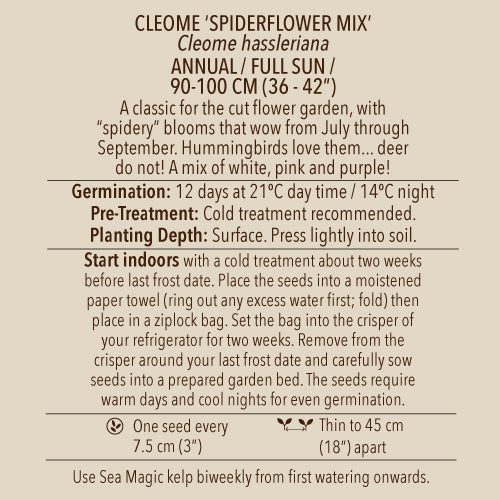 Seeds - Cleome, Spiderflower Mix OG