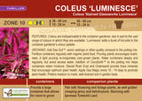 Coleus 'Stained Glassworks Luminesce' (Live Plant)
