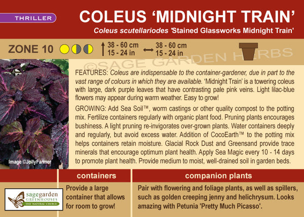 Coleus 'Stained Glassworks Midnight Train' (Live Plant)