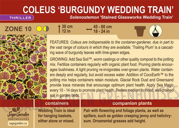 Coleus 'Burgundy Wedding Train' (Live Plant)