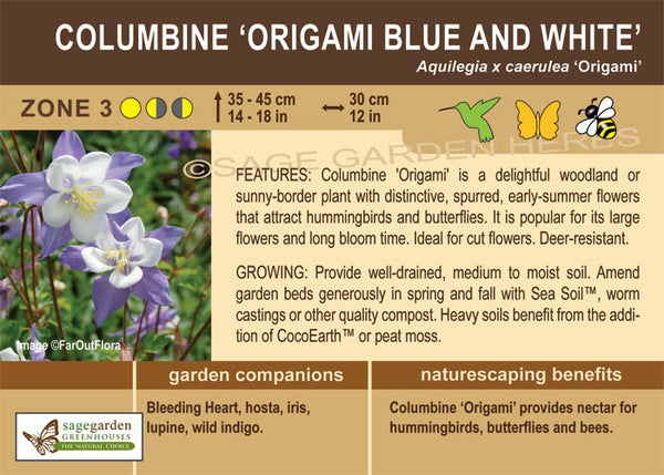 Columbine 'Origami Blue and White' (Live Plant)