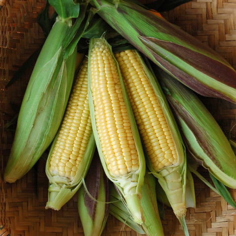 Organic Fisher's Earliest Corn