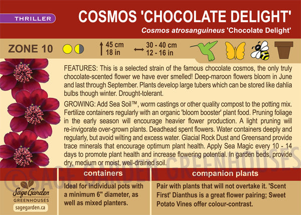 Cosmos 'Chocolate Delight' (Live Plant)