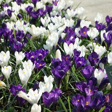 Bulbs - Crocus 'Blue and White Mixed' OG