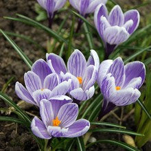 Bulbs - Crocus 'King of the Striped' OG