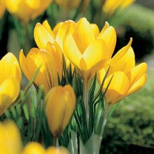 Bulbs - Crocus 'Mammoth' OG