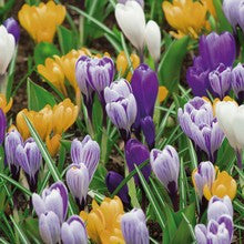 Bulbs - Crocus 'Mixed' OG