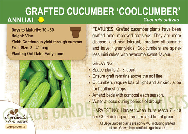 Cucumber 'Grafted Coolcumber' (Live Plant)