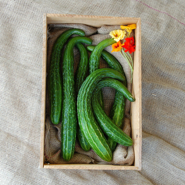 Organic Suyo Long Cucumber
