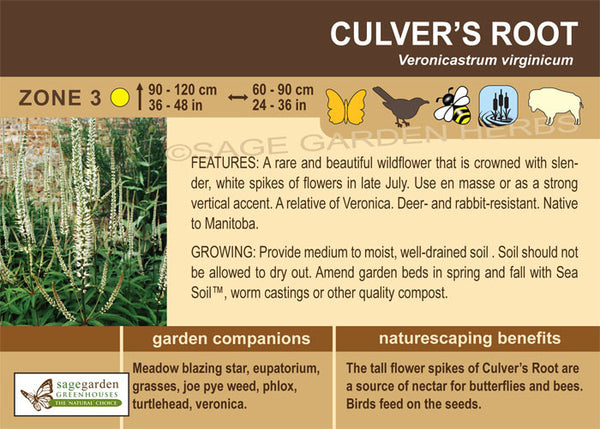 Culver's Root (Live Plant)